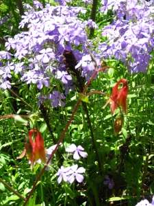 May columbine phlox