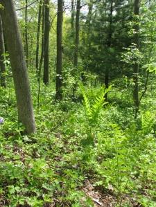 May ferns