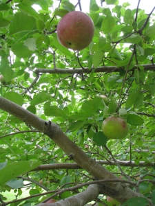 September apple branches